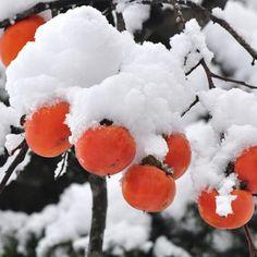 Fuyu Persimmon Tree on Fast Growing Trees Nursery