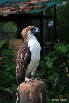 Great Philippine Eagle - Google Search
