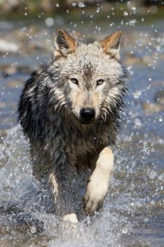 Canis Lupus through the water..