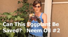 Can This Eggplant be Saved?  Neem Oil #2