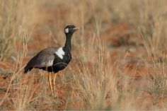 """Korhaan"" is a bird in South Africa that seems to acts as a sentry with a raucous cry of alarm."