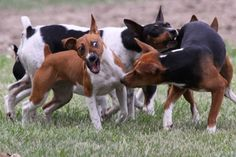 Rat Terriers just having fun!