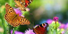 butterflies_on_flowers_150991611