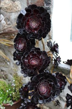 """the-photo-journalist: """" Mysterious Black Flowers…(I have forgotten the name of…) """" Succulent Gardening, Cacti And Succulents, Planting Succulents, Planting Flowers, Succulent Tattoo, Succulent Bouquet, Succulent Wedding Favors, Succulent Centerpieces, Dark Flowers"""