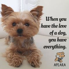 """Check out our website for even more information on """"Yorkshire terrier dogs"""". It is an exceptional area to learn more. Cute Puppies, Cute Dogs, Poodle Puppies, Top Dog Breeds, Yorky, Yorkie Puppy, Teacup Yorkie, Chihuahua, Yorkshire Terrier Puppies"""
