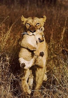 #Lioness with cub by Kevin Lucke