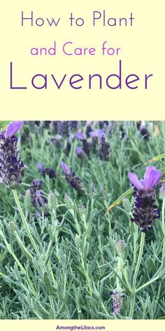 garden care tips Lavender is a beautiful and useful plant to grow in your yard. Grow in in the ground or in pots. This low-maintenance perennial is so easy to care for, learn helpful growing tips from this guide! Lavender Plant Care, Lavender Bush, Growing Lavender, Growing Herbs, Caring For Lavender Plants, Uses For Lavender Plant, Lavender In Garden, Indoor Lavender Plant, Gardens