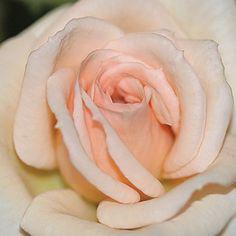 Jean Kenneally™ - Miniature Roses - Roses - Heirloom Roses