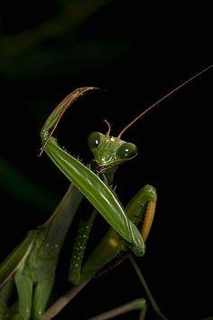 Photographing The Praying Mantis