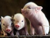 baby pigs! Want.want.want!