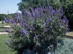 vitex in front yard