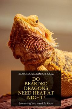 Should you have a heat source during the nght for your bearded dragon? It depends! Read this article to learn more! Bearded Dragon Heat Lamp, Bearded Dragon Tank Setup, Bearded Dragon Substrate, Bearded Dragon Lighting, Bearded Dragon Food, Bearded Dragon Enclosure, Bearded Dragon Habitat, Lizard Girl, Dragon Facts