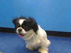 MEME is an adoptable Pekingese Dog in New York, NY.  ...