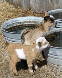 Bébés chèvres ~ Baby goats