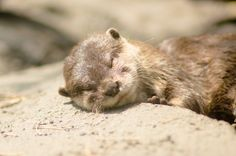 musaborikuさんの作品「多摩動物公園*カワウソくんの寝顔」(ID:1304652)のページです。撮影機材やExif情報も掲載しています。