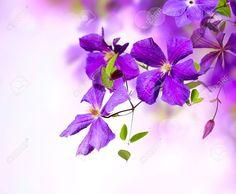 Violet Petals Stock Photos Images. Royalty Free Violet Petals ...