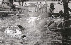 Ella es Lolita la orca que ha sido capturada y esclavizada por más de 45 años por un acuario