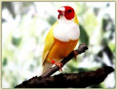 White breasted Gouldian finch!