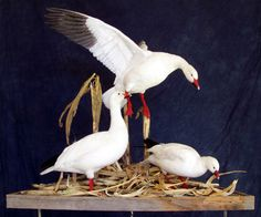 upland game waterfowl turkeys Taxidermy Display, Bird Taxidermy, Turkey Mounts, Duck Mount, Snow Goose, Utah, Hunting, Ducks, Carving