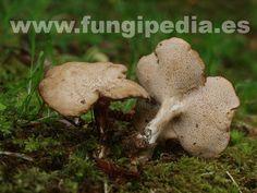Cerioporus rhizophilus es un hongo del orden Poriales también conocido como Polyporus rhizophilus, Poliporo de las gramíneas, poliporo de las raíces... ver más información.