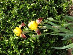 Iris with Boxwood