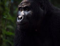 Gorila Ojos temerosos  (© Joshua Meltz, National Geographic)