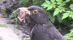 Nest met vijf jonge merels in onze tuin - Nest with five young Blackbird...