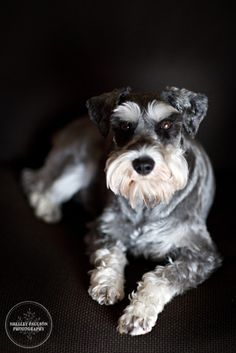 This reminds me so much of our Shiloh- it's scary!! Schnauzers are so cute!