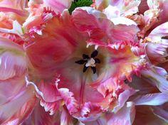 Tulips www.mardeflores.com