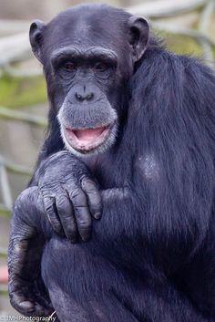 Simon, my first adopted chimp, has a busy time coming up as he checks that the improvements to his enclosure are fully chimp-proof!  Monkey World, UK
