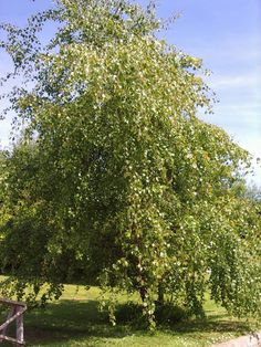 1 Silver Birch Native Tree Hedge Betula Yr Old & Feathered Shoot Off, Betula Pendula, Deciduous Trees, Winter Colors, Hedges, Garden Landscaping, Landscape, Birch Trees, Plants