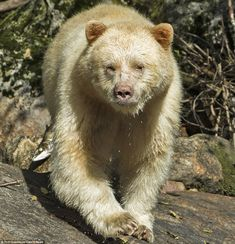 Rare Spirit Bear Size matters: Adult male kermode bears can reach 500 pounds in weight, with some females weighing 300 pounds Sloth Bear, Bear Cubs, Panda Bear, Polar Bear, Bears, North American Animals, American Black Bear, Bear Photos, Bear Pictures