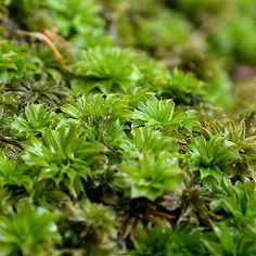 north american moss - Google Search