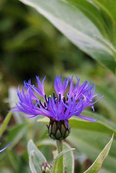 Centaurea Montana https://flic.kr/p/24E5YzE | blue centaurea