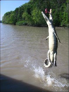 A 1.5m saltwater crocodile leaping completely out of a river in the Northern Territory after being tempted with food by a cruise operator.