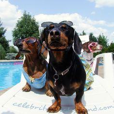 Dachshund Pool Party - by Crusoe