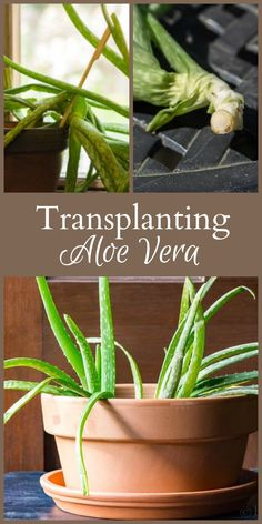 Transplanting aloe vera is often a good idea. Those that are top heavy, leaning over, and have pups, are all good candidates for re-potting.