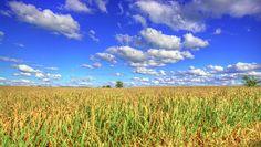 beautiful Iowa cornfields