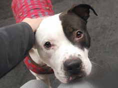 """Update: safe! Can you take a second to re-pin David? It could save his life! His time is up today (4/22) at NYC ACC. Rescues can transport, click on Help Desk if interested and click through for more photos and videos. """"Sociable and open to love, David enjoys meeting new friends of both the two and four-legged variety and he's such a charmer that he even had the police officers who drove him to the Care Center singing his praises–apparently he loves car rides! A well-behaved boy who walks…"""