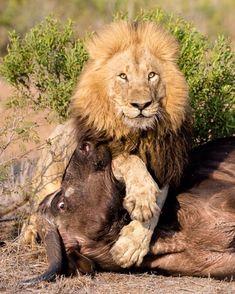 Photos @marlondutoit  lion kill.