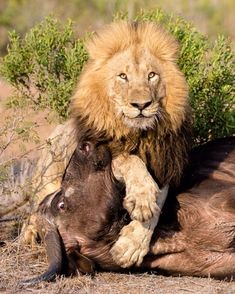 . Питания. Фото @marlondutoit невероятный мужчина Лев поймать и убить этого…