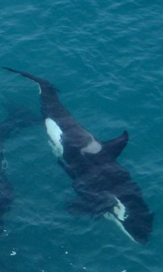 Orca - Auckland NZ is blessed to have a pod of Orca which are often seen in & around the Waitemata Harbour.