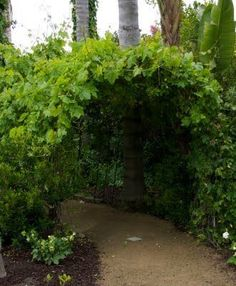 The Grapevine Tunnel ~ this would grow fast and be a good replacement for a 'tree tunnel' that would take years and years!