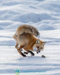 Red Fox by Freedom in Nature Photography - Robert Yone