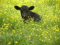 .cows.