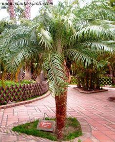 Phoenix roebelenii o palmera datilera enana
