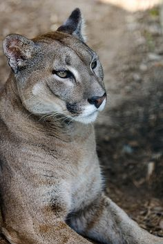 Puma - used to hand-feed 2 of these beauties