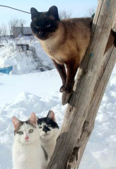 winter prowl Siamese Cats, Cats And Kittens, Kitty Cats, I Love Cats, Crazy Cats, Balinese Cat, Kitten Images, Winter Cat, Cute Cats Photos