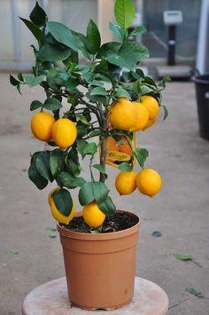 Die Meyers Zitrone ist eine natürliche Kreuzung aus Zitrone (C. limon) und Orange (C. sinensis) und nach dem amerikanischen…