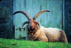 Four horns & unusual color: Manx Loaghtan